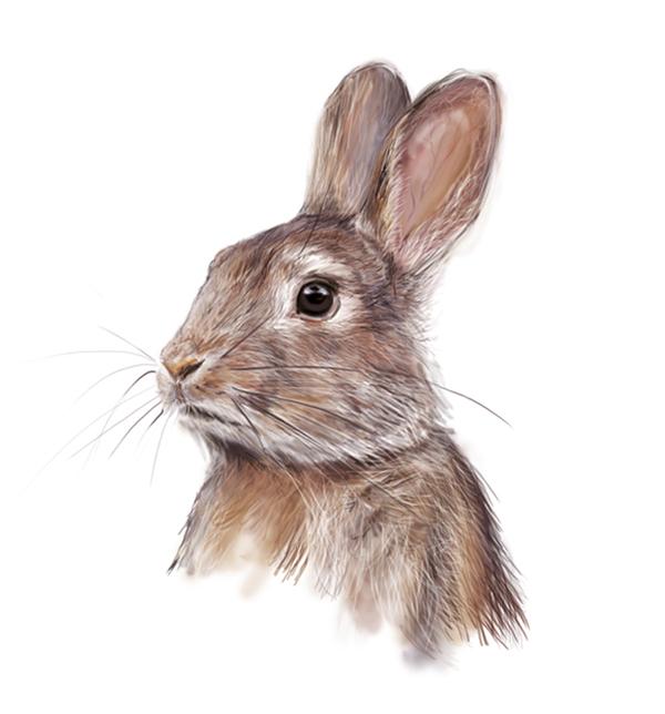 ilustración científica,  serina Maio, conejo, libro de texto